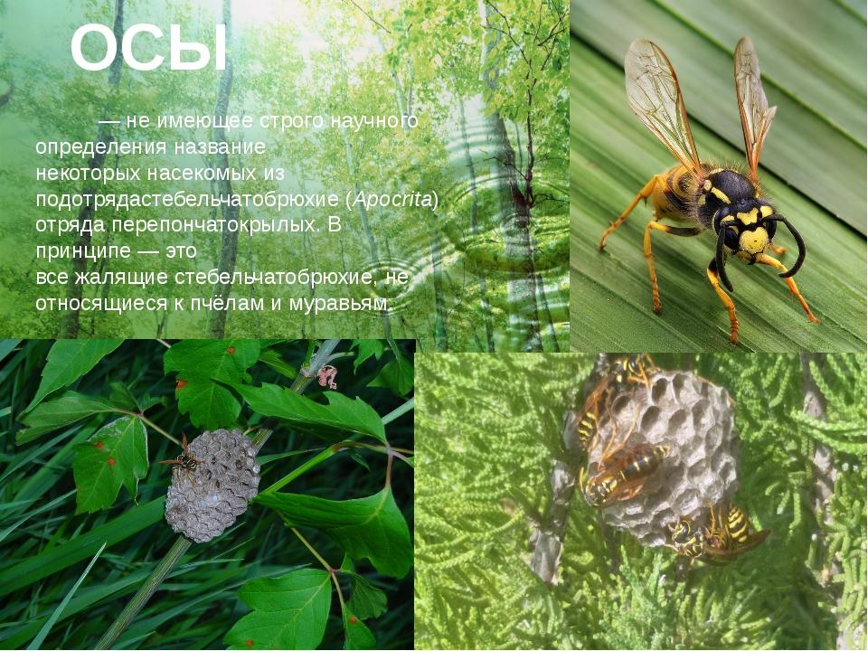 ОСЫ О́сы— не имеющее строго научного определения название некоторыхнасекомы...