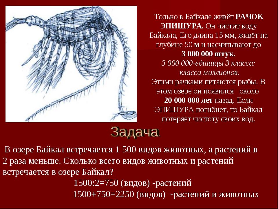 Только в Байкале живёт РАЧОК ЭПИШУРА. Он чистит воду Байкала, Его длина 15 мм...