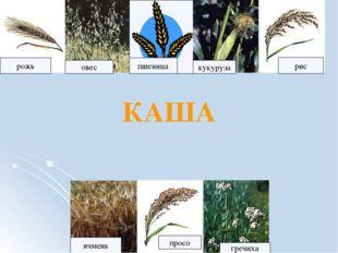 рожь рис овес кукуруза ячмень просо пшеница гречиха КАША