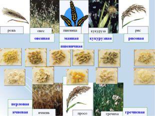 рожь рис овес кукуруза ячмень просо пшеница гречиха ячневая рисовая гречнева