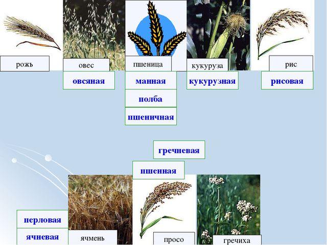 рожь рис овес кукуруза ячмень просо пшеница гречиха полба ячневая рисовая гр...