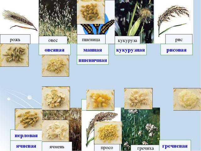 рожь рис овес кукуруза ячмень просо пшеница гречиха ячневая рисовая гречнева...