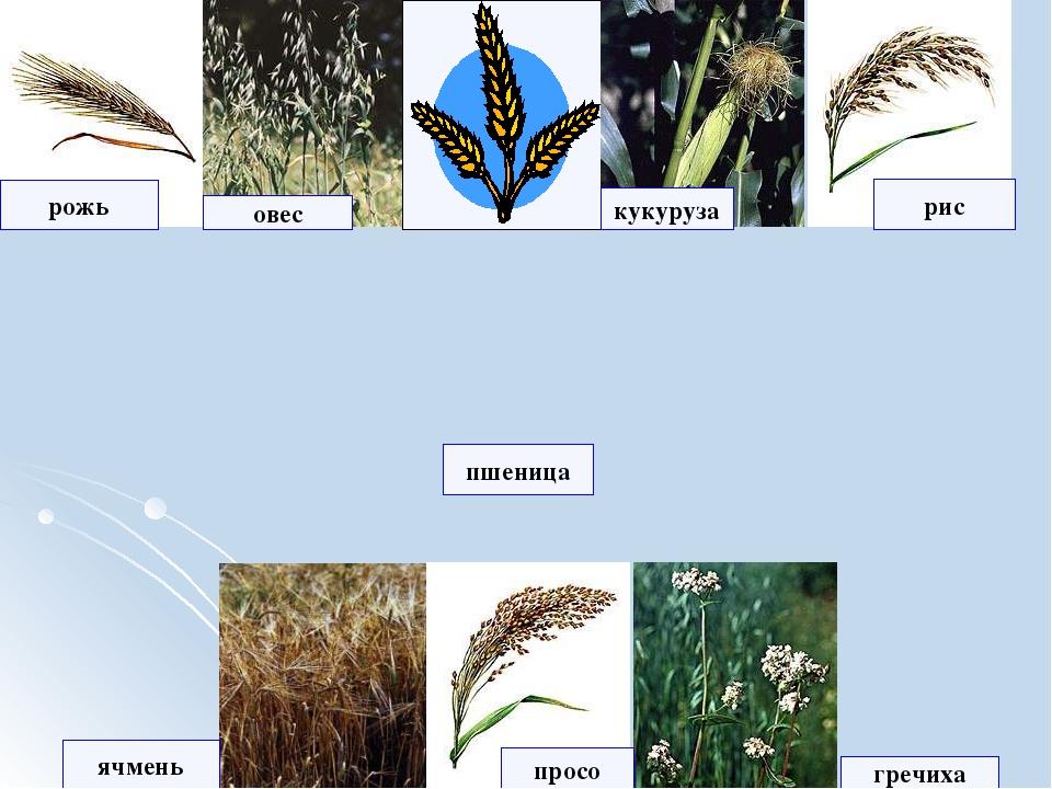рожь рис овес кукуруза ячмень просо пшеница гречиха