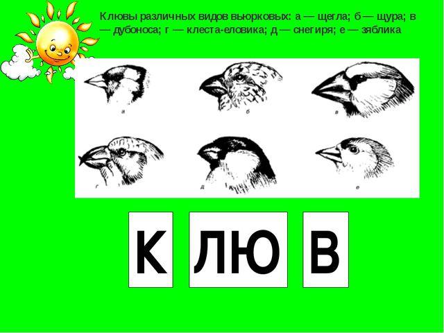 К ЛЮ В Клювы различных видов вьюрковых: а — щегла; б — щура; в — дубоноса; г...