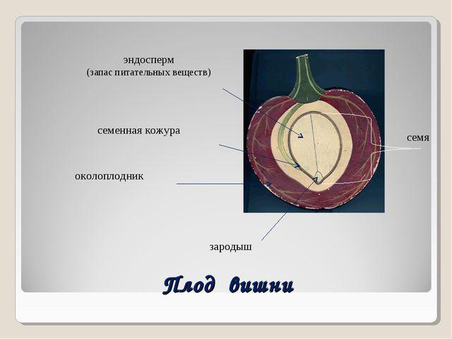 Плод вишни семя зародыш околоплодник семенная кожура эндосперм (запас питател...