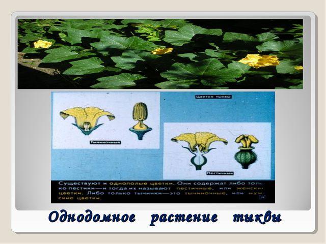 Однодомное растение тыквы