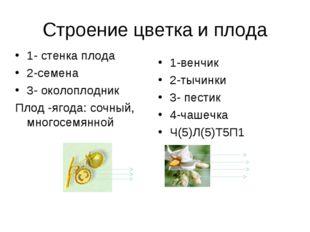 Строение цветка и плода 1- стенка плода 2-семена 3- околоплодник Плод -ягода: