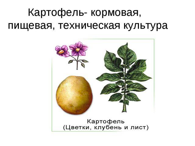 Картофель- кормовая, пищевая, техническая культура