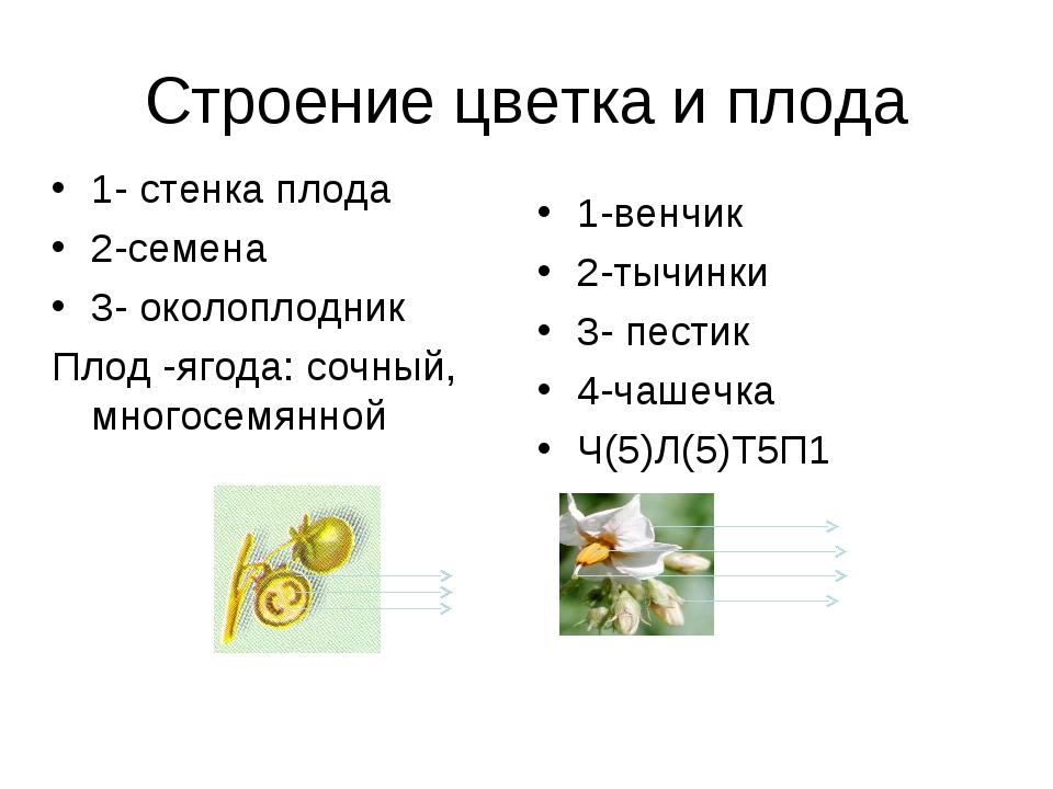 Строение цветка и плода 1- стенка плода 2-семена 3- околоплодник Плод -ягода:...