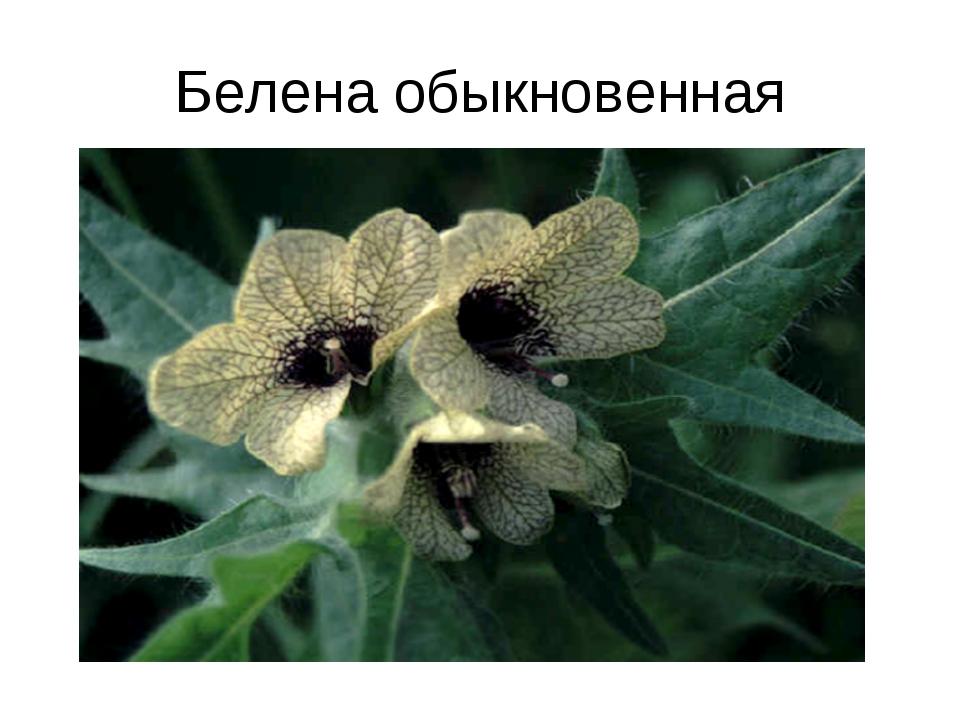 Белена обыкновенная