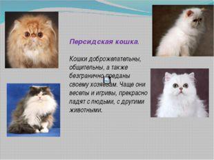 Персидская кошка. Кошки доброжелательны, общительны, а также безгранично пре