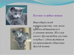 Русские голубые кошки Благодаря своей независимости, они легко приспосаблива