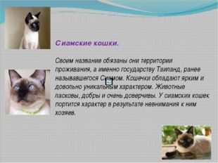Сиамские кошки. Своим название обязаны они территории проживания, а именно г