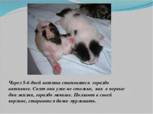 Через 5-6 дней котята становятся гораздо активнее. Спят они уже не столько,
