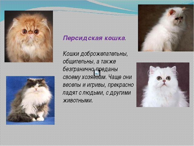Персидская кошка. Кошки доброжелательны, общительны, а также безгранично пре...