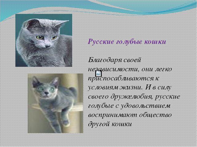 Русские голубые кошки Благодаря своей независимости, они легко приспосаблива...