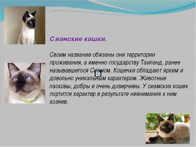 Сиамские кошки. Своим название обязаны они территории проживания, а именно г...