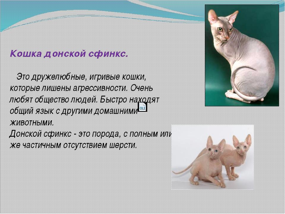 Сфинкс характер описание и фото