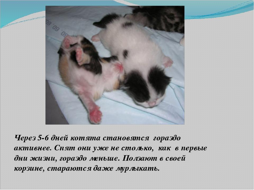 Через 5-6 дней котята становятся гораздо активнее. Спят они уже не столько,...