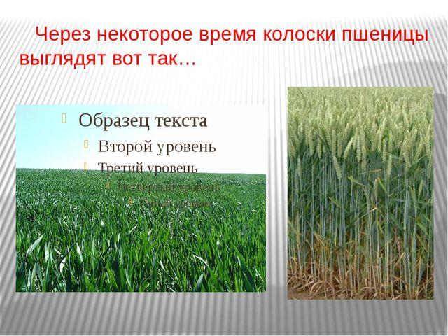 Через некоторое время колоски пшеницы выглядят вот так…