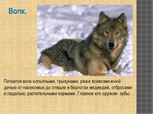 Волк. Питается волк копытными, грызунами, реже всевозможной дичью от насекомы