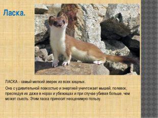 Ласка. ЛАСКА - самый мелкий зверек из всех хищных. Она с удивительной ловкост