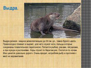 Выдра. Выдра речная - хищное млекопитающее до 30 см. дл., темно-бурого цвета.