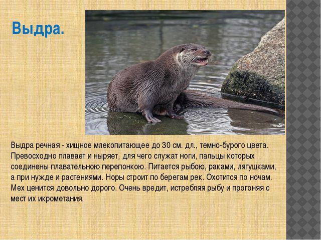 Выдра. Выдра речная - хищное млекопитающее до 30 см. дл., темно-бурого цвета....