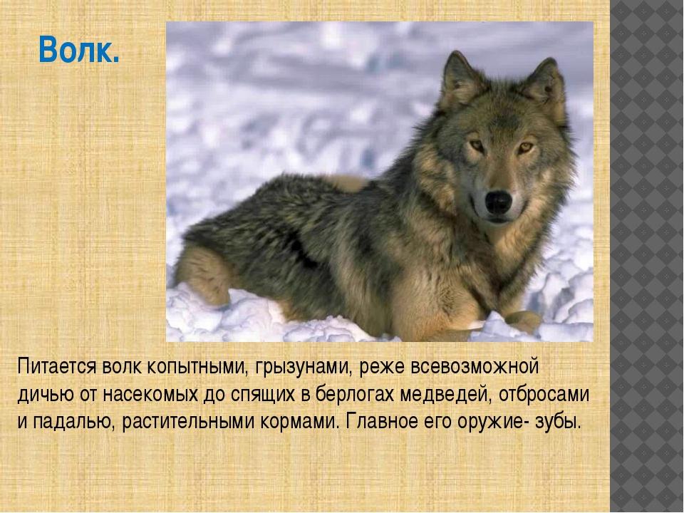 Волк. Питается волк копытными, грызунами, реже всевозможной дичью от насекомы...