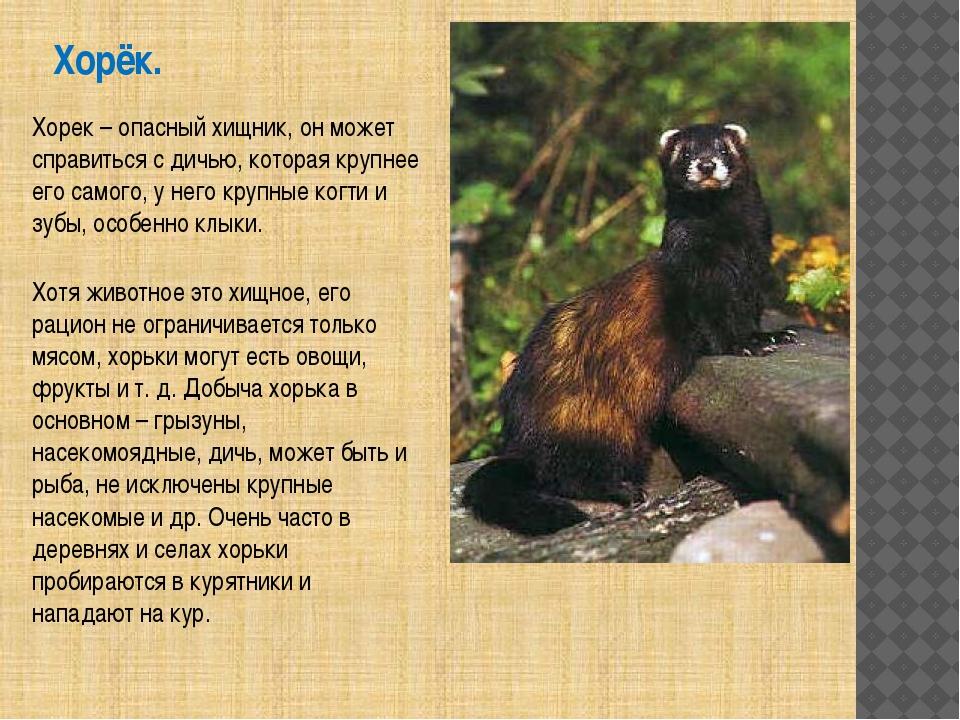 Хорёк. Хорек – опасный хищник, он может справиться с дичью, которая крупнее е...