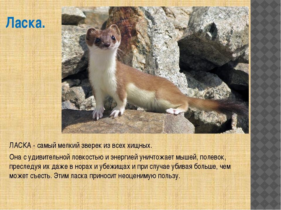 Ласка. ЛАСКА - самый мелкий зверек из всех хищных. Она с удивительной ловкост...