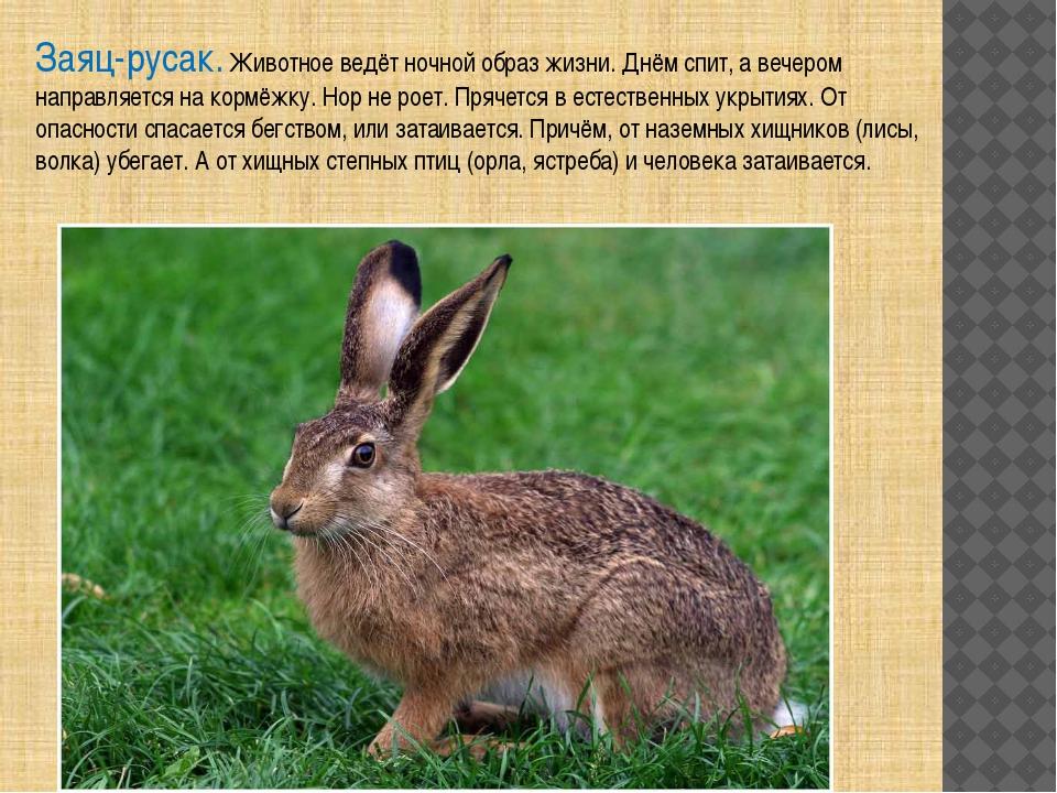 Заяц-русак. Животное ведёт ночной образ жизни. Днём спит, а вечером направляе...