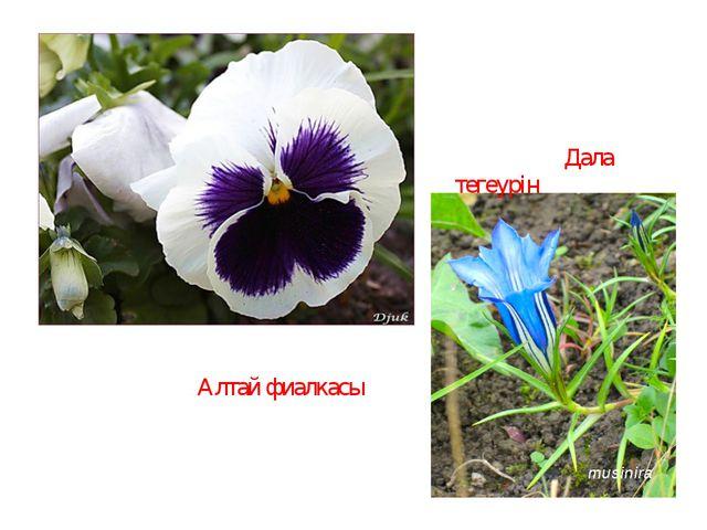 Алтай фиалкасы Дала тегеурін