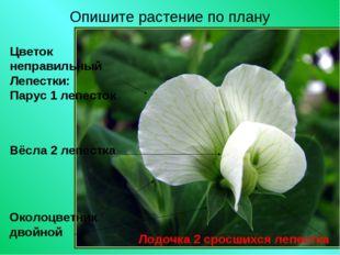 Опишите растение по плану Цветок неправильный Лепестки: Парус 1 лепесток Окол