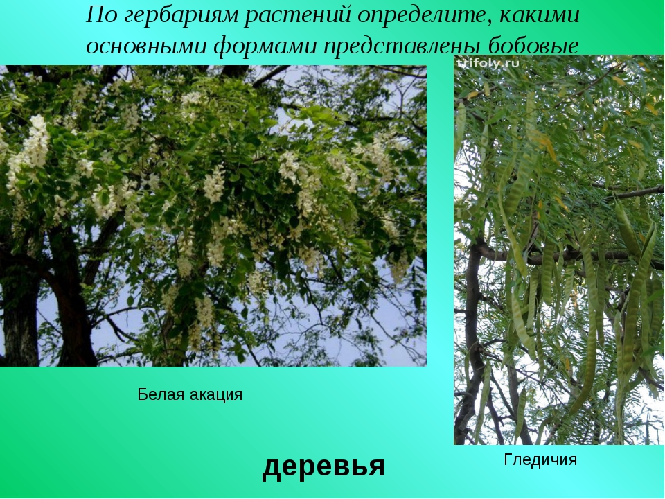 По гербариям растений определите, какими основными формами представлены бобов...