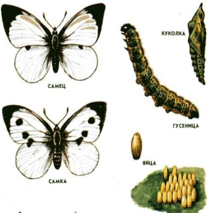 http://900igr.net/datai/biologija/Embrionalnyj-period-razvitija/0026-048-7-postembrionalnyj-period.jpg