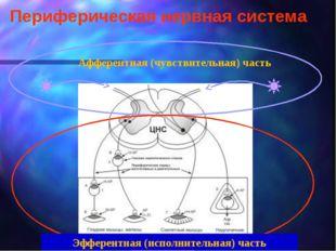 Периферическая нервная система Афферентная (чувствительная) часть Эфферентная
