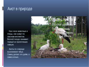 Аист в природе Как и все животные и птицы, они живут по законам инстинктов. В