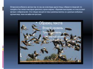 Интересная особенность аистов в том, что они, как и некоторые другие птицы, с