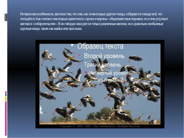 Интересная особенность аистов в том, что они, как и некоторые другие птицы, с...