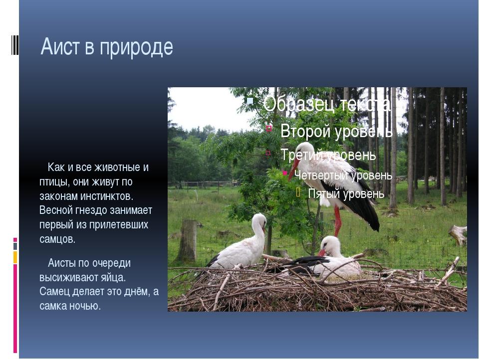 Аист в природе Как и все животные и птицы, они живут по законам инстинктов. В...