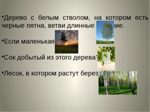 Дерево с белым стволом, на котором есть черные пятна, ветви длинные и тонкие.