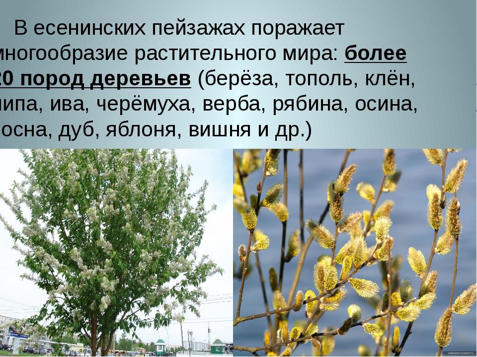 В есенинских пейзажах поражает многообразие растительного мира: более 20 пор...