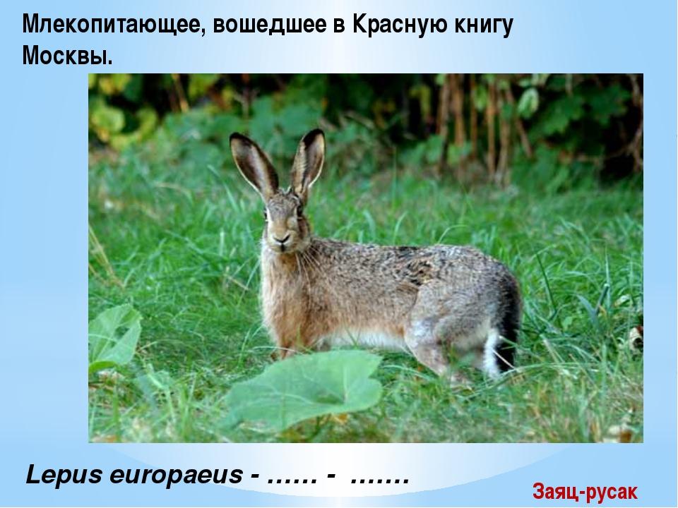 Lepus europaeus - …… - ……. Млекопитающее, вошедшее в Красную книгу Москвы. З...