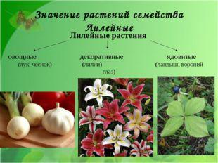 Лилейные растения овощные декоративные ядовитые (лук, чеснок) (лилии) (ландыш