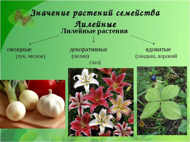 Лилейные растения овощные декоративные ядовитые (лук, чеснок) (лилии) (ландыш...