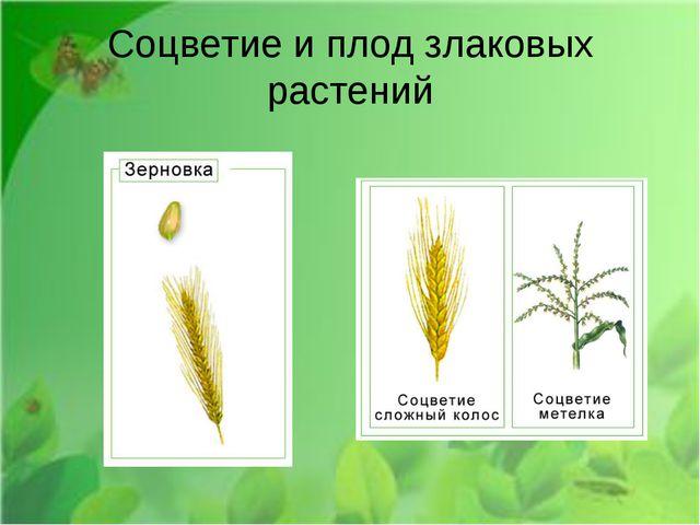 Соцветие и плод злаковых растений