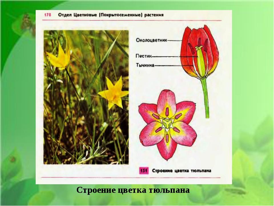 Строение цветка тюльпана