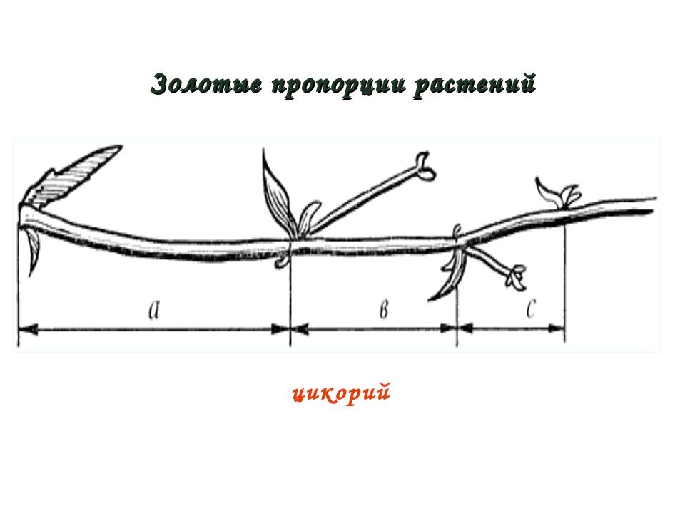 Золотые пропорции растений цикорий