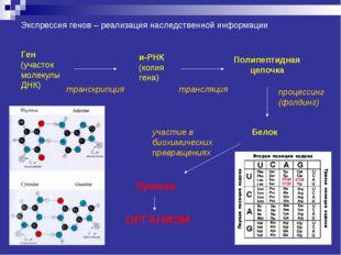 Экспрессия генов – реализация наследственной информации Ген (участок молекулы